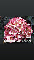 Гортензия крупнолистная You and me Miss Saori
