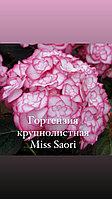 Гортензия крупнолистная Miss Saori