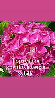 Гортензия крупнолистная Sybilla