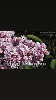 Сирень Иван Мичурин