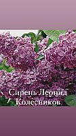 Сирень Леонид Колесников