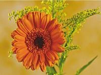 Картины по номерам (15х20) ГЕРБЕРА ( 13 цветов ) 1/100
