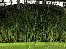 Гидропоника (Аэропоника) МГУ – мобильная гидропонная установка, производительностью от 20 кг, фото 2