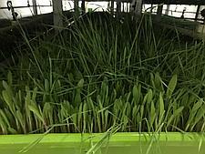 Гидропоника (Аэропоника) - МГУ - мобильная гидропонная установка, производительностью 150, 200 кг, фото 3