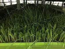Гидропоника (Аэропоника) - МГУ - мобильная гидропонная установка, производительностью 250, 300 кг, фото 3