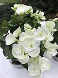 Бегония элатиор Clara молодое растение с цветами, фото 2