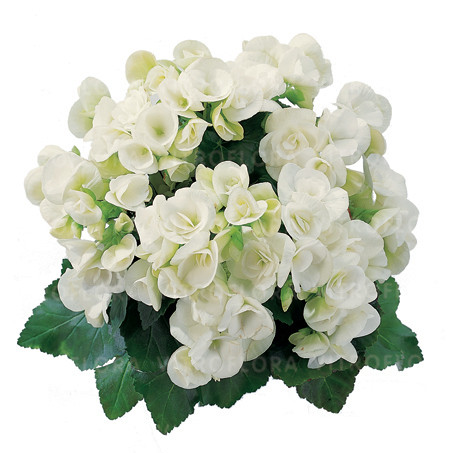 Бегония элатиор Clara молодое растение с цветами