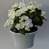Бегония элатиор Clara молодое растение с цветами, фото 3