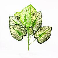Сингониум (White Butterfly) бежево-зеленый 40см.