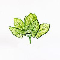Сингониум (White Butterfly) бело-зеленый 30см.