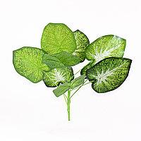 Сингониум (Dr Birdsey) зеленый, белая сердцевина 40см.
