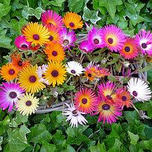 Семена доротеантуса