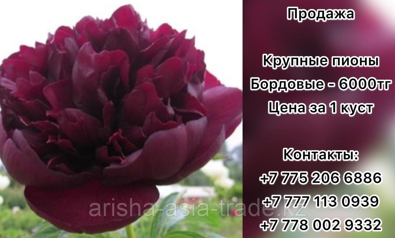 Пионы. Крупноцветковый бордовый.