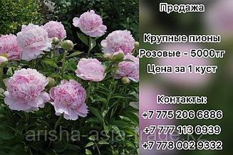 Пионы. Крупноцветковые розовые.