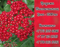 Цветы Тысячелистник красный.