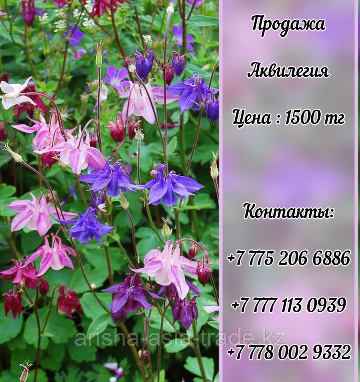 Цветы Аквилегия.