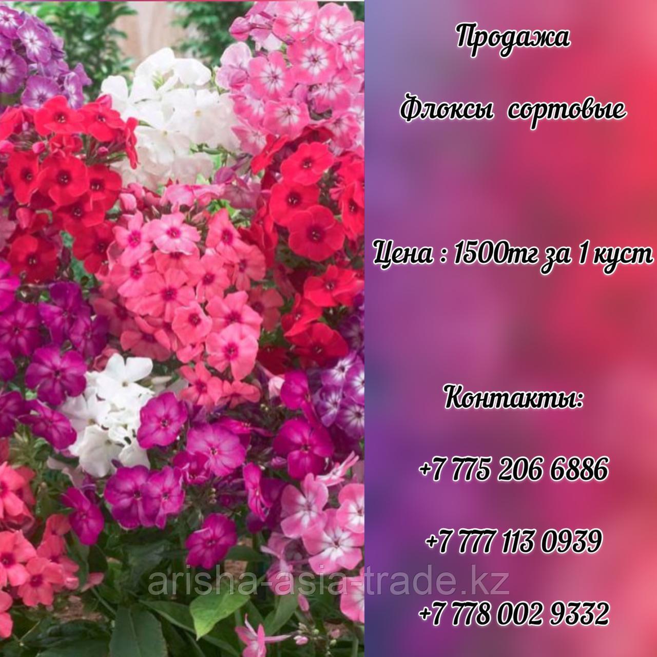 Цветы Флоксы сортовые.