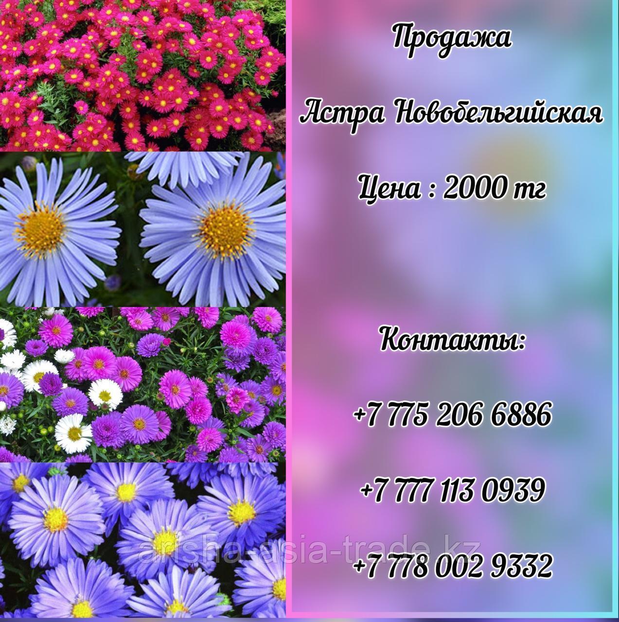 Цветы Астра Новобельгийская.