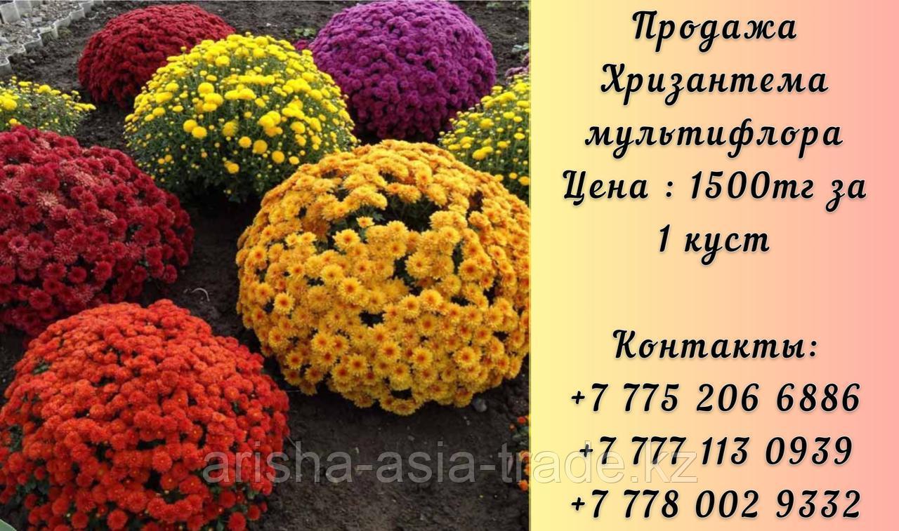 Цветы Хризантема Мультифлора.