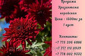 Цветы Хризантема Корейская.