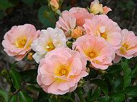 Роза Персиковый Дрифт