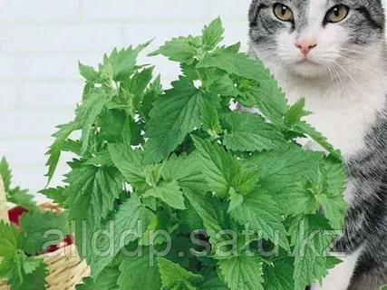 Кошачья мята, 10 г