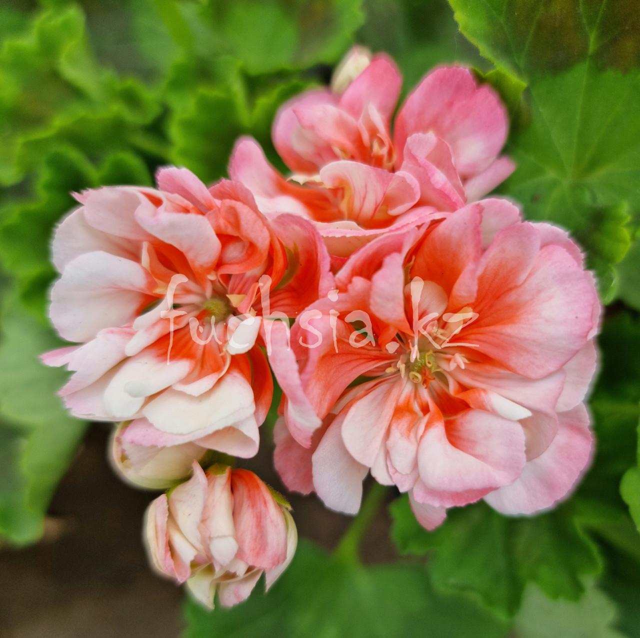 Grandeur Deco Apple Blossom / укор.черенок