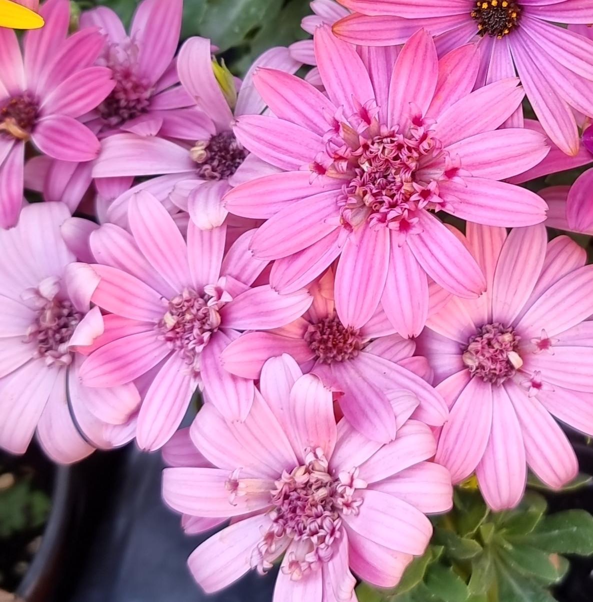 Margarita Double Pink №606 /укор.черенок