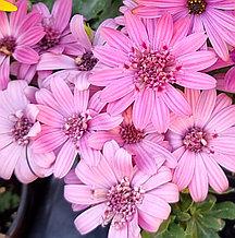 Margarita Double Pink №606 / подрощенное растение