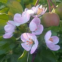 Яблоневый цвет из фоамирана - шпильки, заколочки, веночки, броши, ободочки