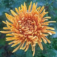 Брошь с хризантемой из фоамирана