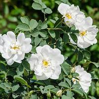 Роза ругоза сорта Рубра и Альба
