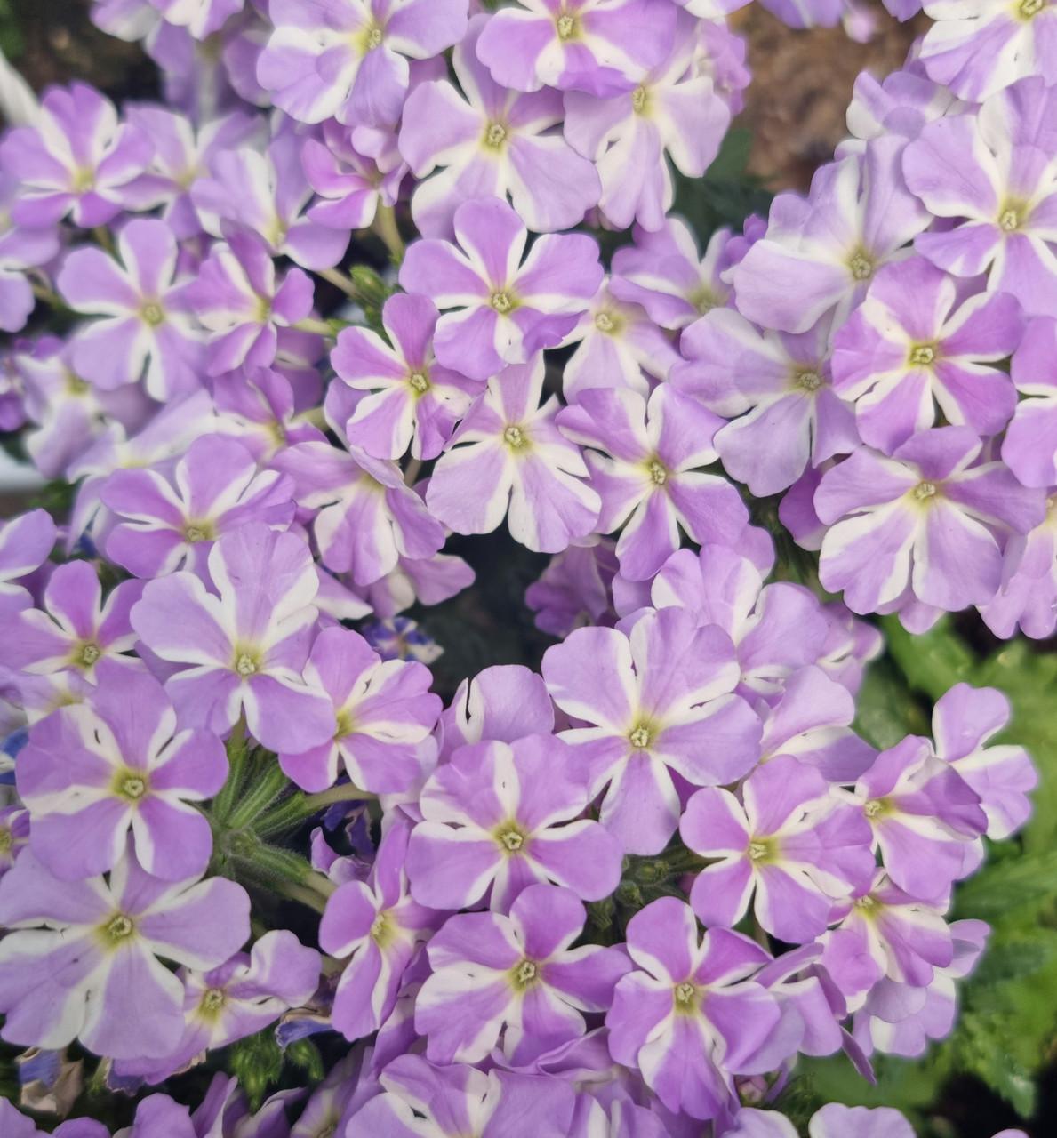 Voodoo Lavender Star №704  / укор.черенок
