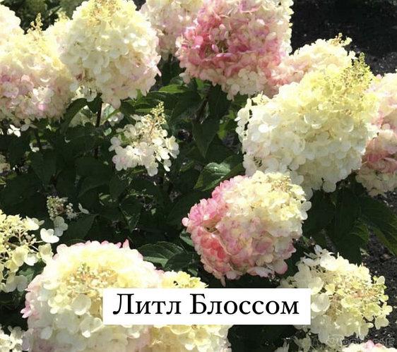 Гортензия метельчатая Литл Блоссом