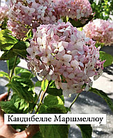 Гортензия метельчатая Кандибелле Маршмеллоу