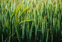 Семенной материал Пшеница-Ячмень