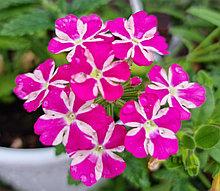 Вербена Estrella Voodoo Pink Star