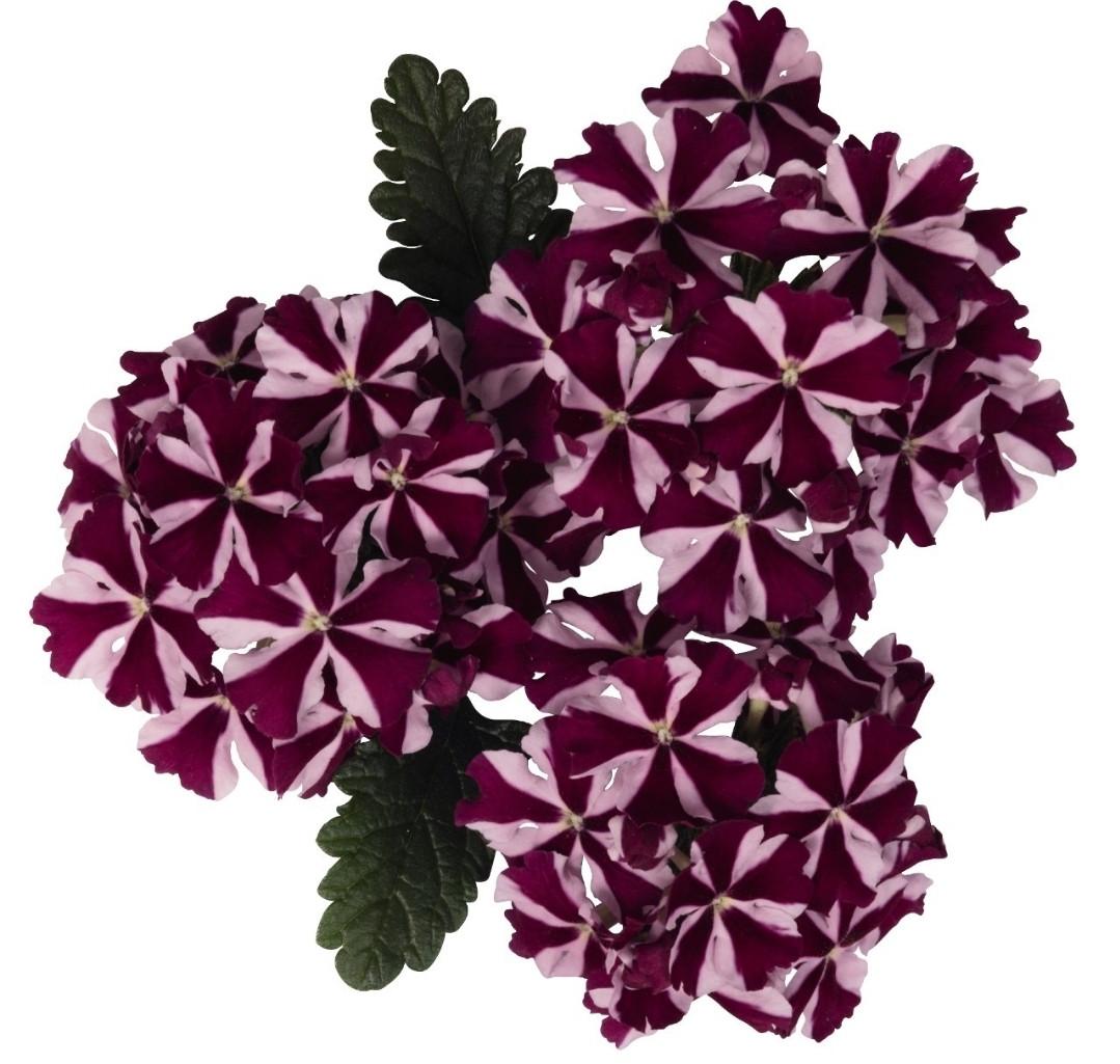 Voodoo Burgundy Star №707 / укор.черенок