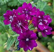 Estrella Dark Purple  №701/ укор.черенок