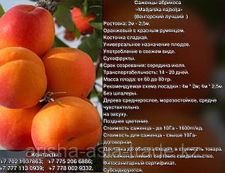 Саженцы абрикоса Madjarska najbolja Сербия