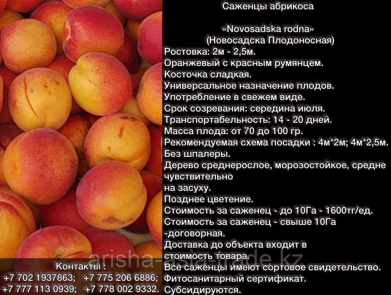 Саженец абрикоса Novosadska rodna Сербия