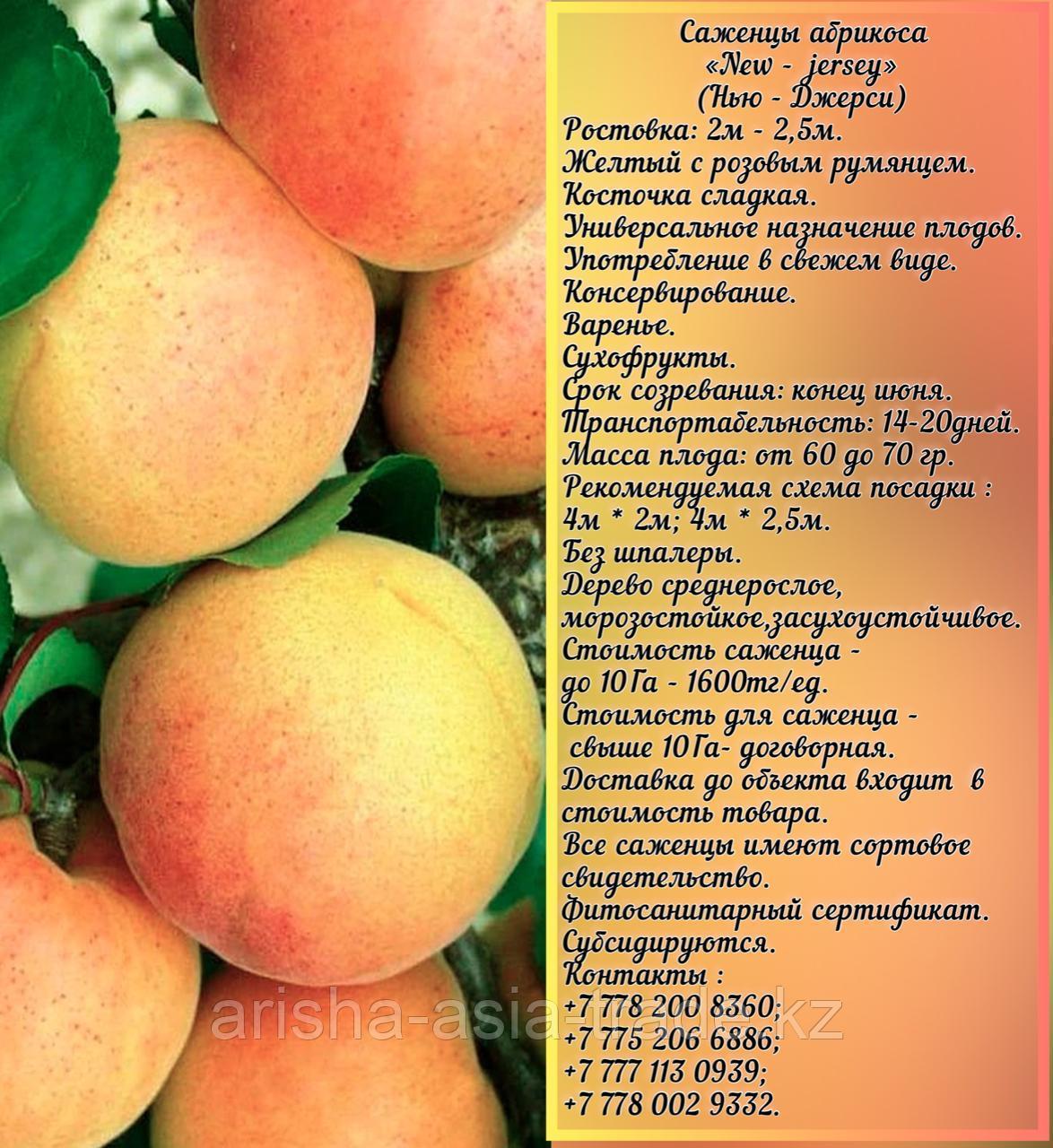 Саженец абрикоса «New - jersey»  (Нью-  джерси) Сербия