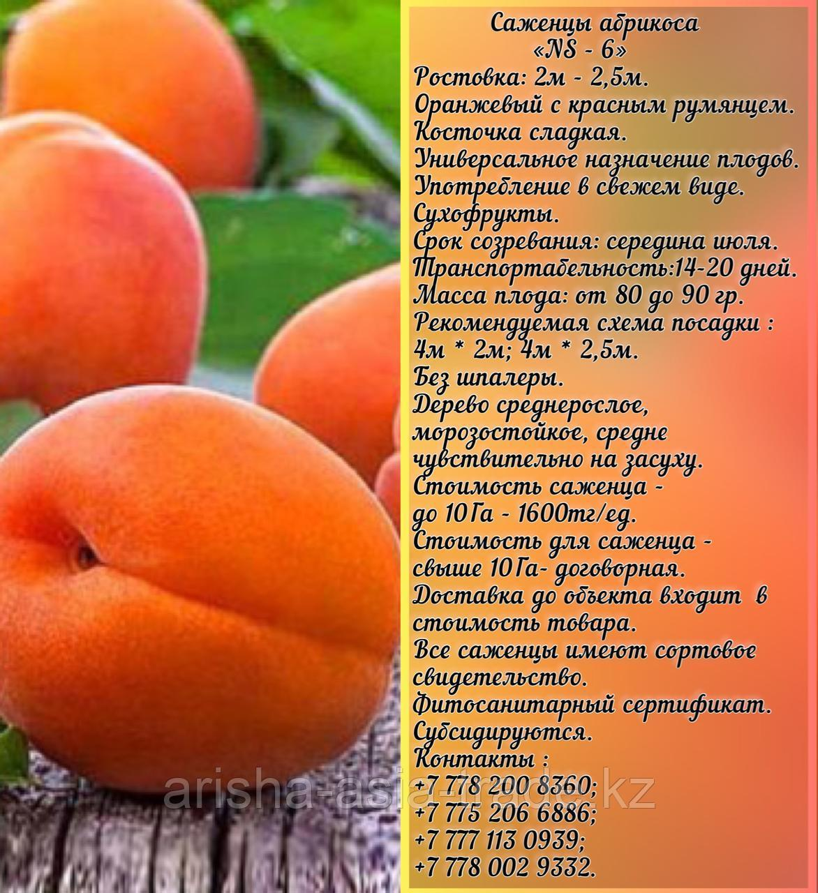 Саженец абрикоса «NS - 6» Сербия