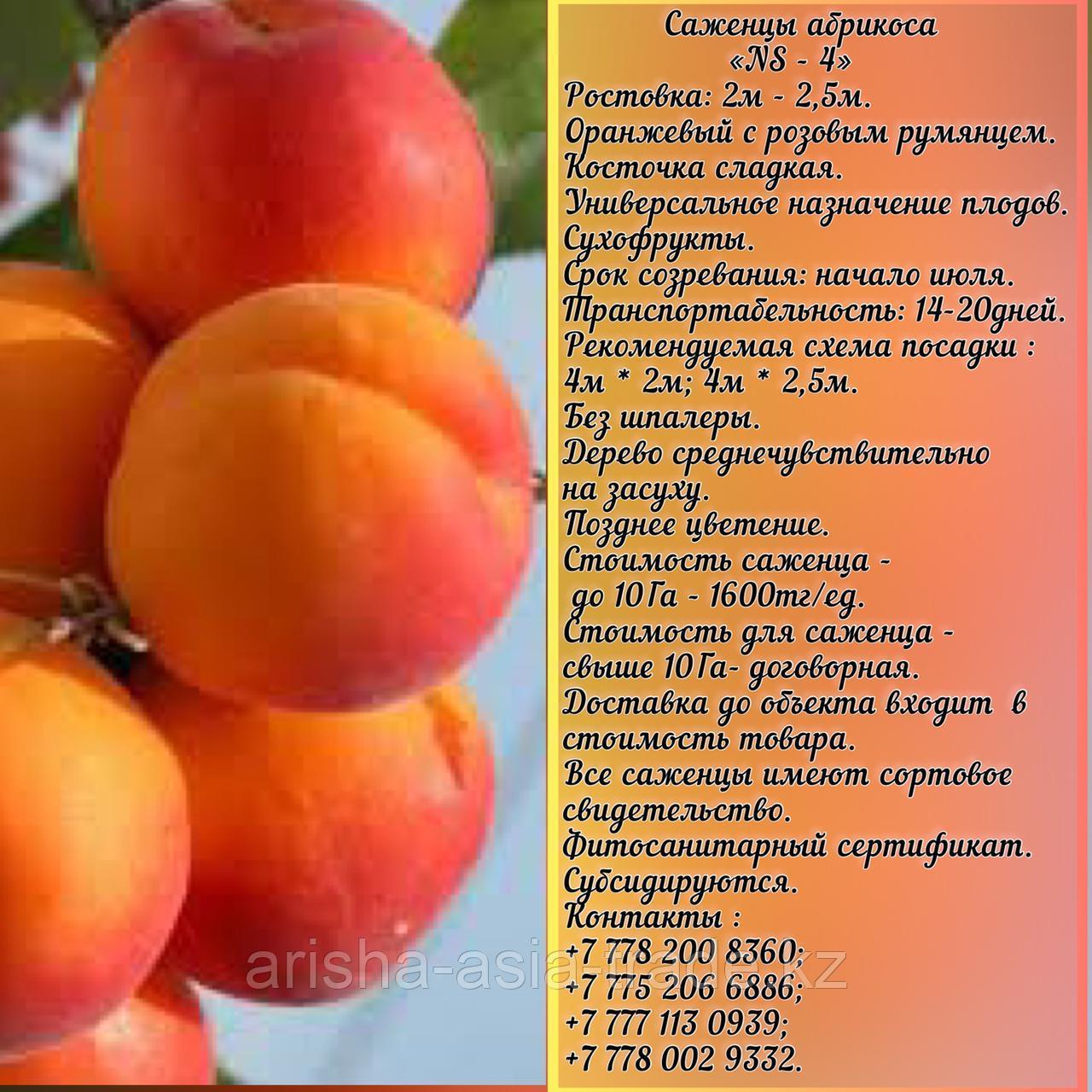 Саженец абрикоса  «NS - 4» Сербия