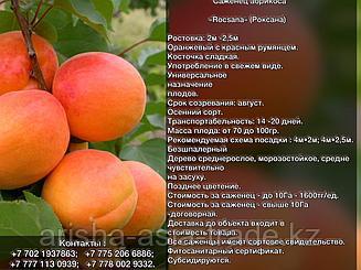 Саженец абрикоса «Rocsana» (Роксана) Сербия