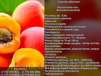 Саженец абрикоса    «Keckemetska ruza» (Кечкеметская роза) Сербия