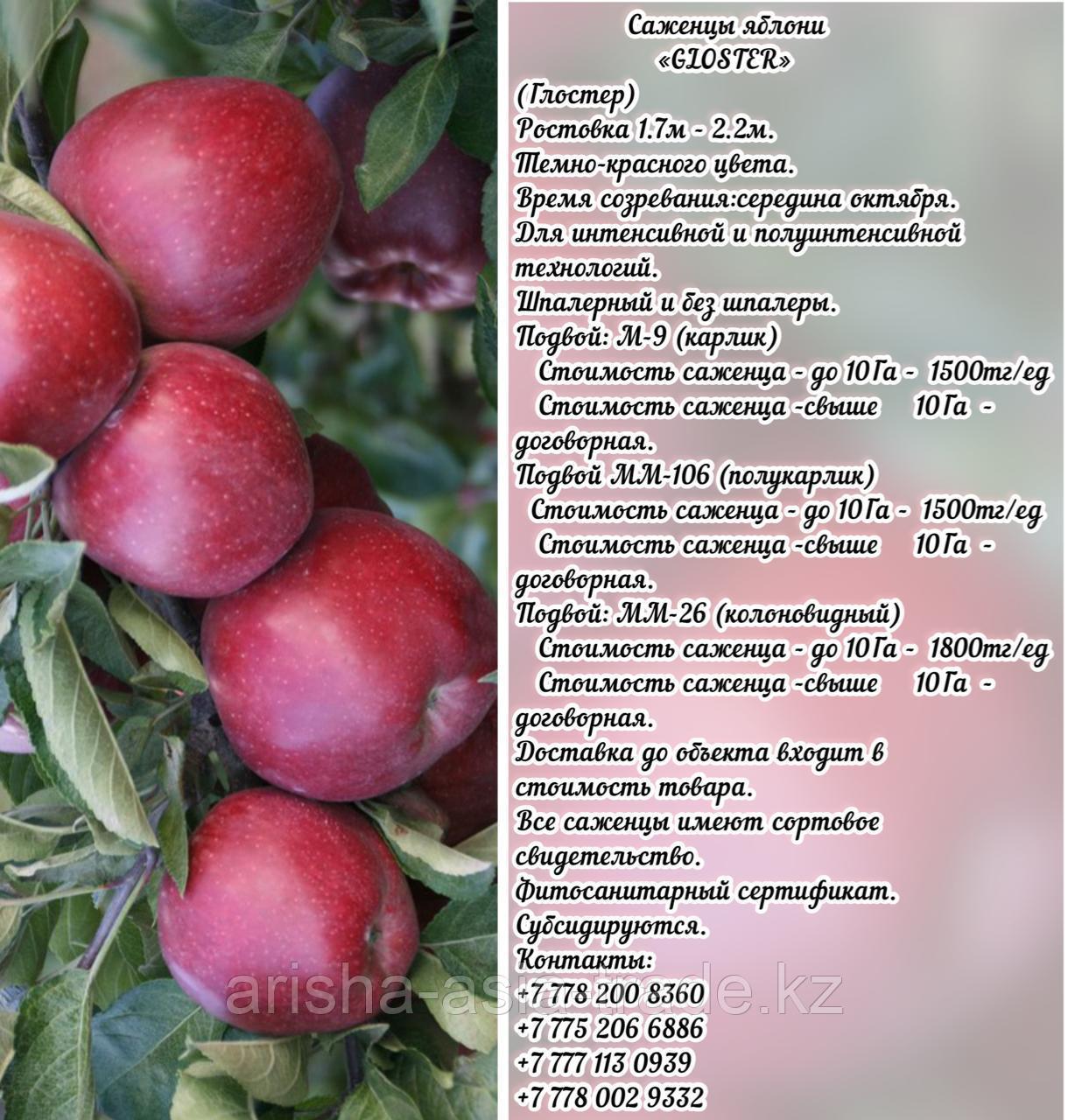 """Саженцы яблони """"Gloster""""  (Глостер) подвой мм 26 Сербия"""