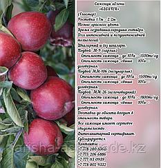 """Саженцы яблони """"Gloster"""" подвой м 9 Сербия"""