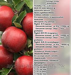"Саженцы яблони ""Jonaprinc"" М 9 Сербия"