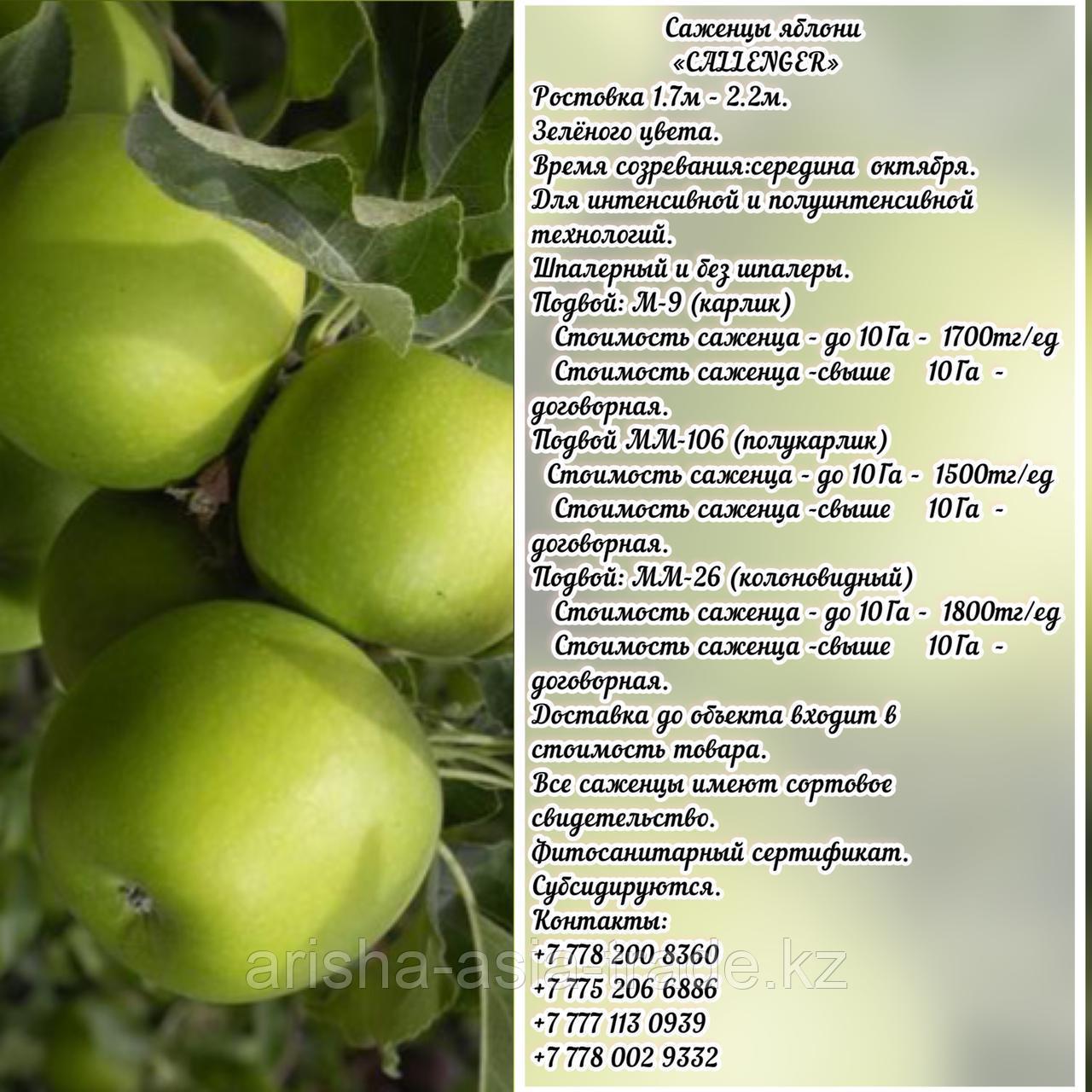 """Саженцы яблони """"Callenger"""" (Калленгер) ММ 26 Сербия"""